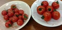 プチプヨ トマト